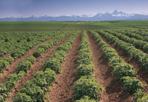 Tetons-potato field